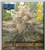 Sin City HarleSin Feminized 7 Cannabis Seeds